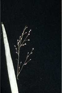 "Image credit: Robert H. Mohlenbrock @ USDA-NRCS PLANTS Database / USDA NRCS. 1995. ""Northeast wetland flora: Field office guide to plant species."" Northeast National Technical Center, Chester."